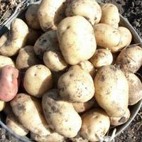 Как правильно хранить картофель. Часть 2