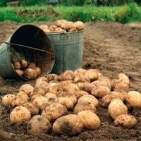 Когда и как копать картошку?
