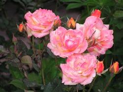 Вездесущая розанная цикадка