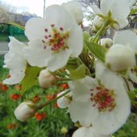 Второй день апреля. Сад