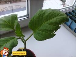 Проблема с рассадой баклажан почему то листики сохнут.