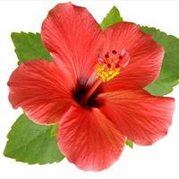 Цветут гибискусы