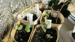 Сеем на рассаду разные капусты для раннего урожая.
