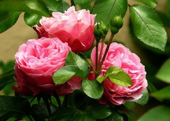 Роза – роскошный куст из скромного черенка