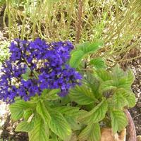 В моём саду опять зацветёт Гелиотроп!