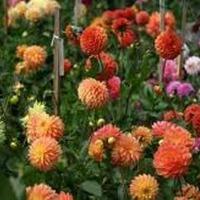 Однолетние георгины, лаватера, астры - цветы для палисадника.