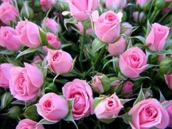 Серая гниль роз