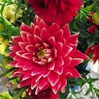 Георгина - украшение цветника!