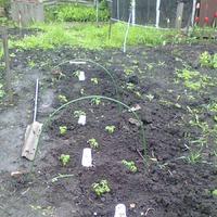 26 апреля. Я высадила помидорную рассаду в грунт.
