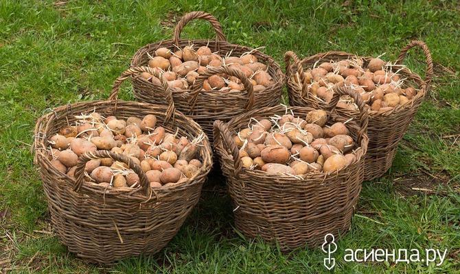 А вы успели прорастить картофель перед посадкой?