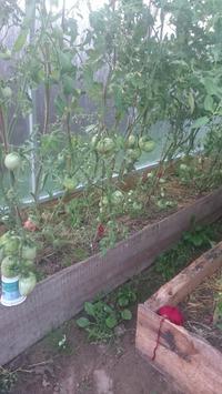 Мой первый опыт выращивания томатов