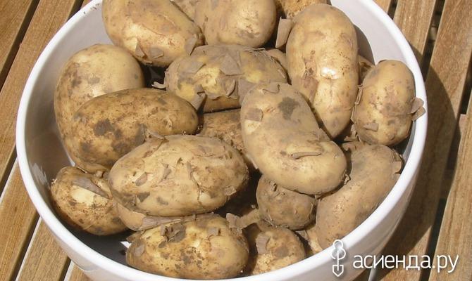 Картофель: как уберечь урожай от фитофторы