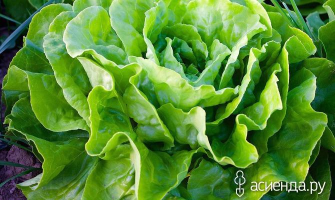 Кочанный салат: еще успеем посеять рассаду