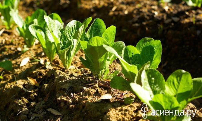 Салат ромэн: запасаемся витаминной зеленью на зиму
