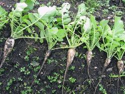 Уход за дайконом и уборка урожая