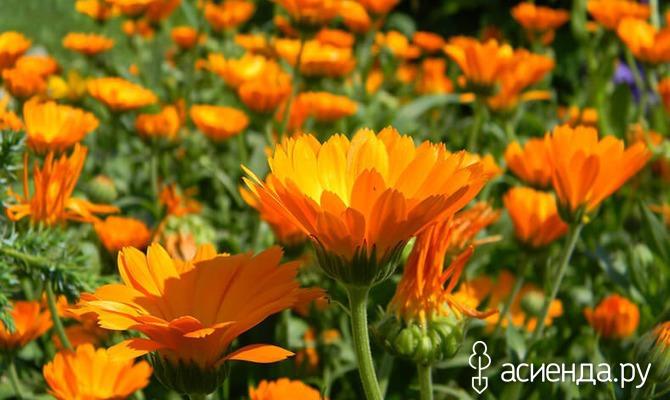 Растения, защищающие огород и сад