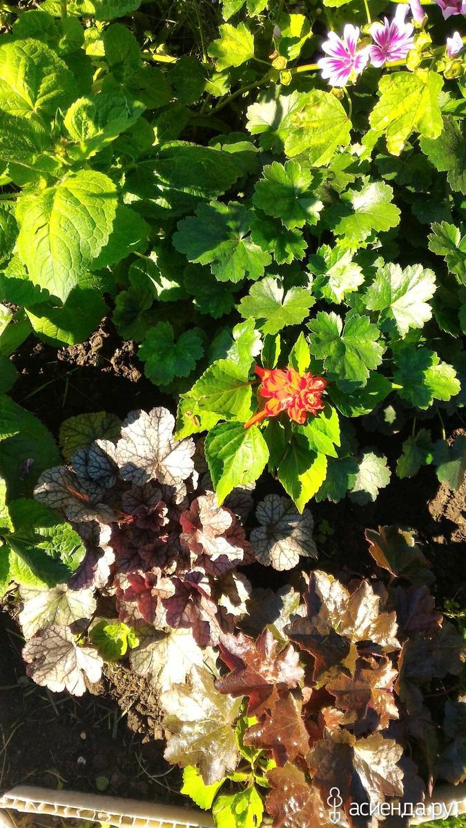 Посадка и выращивание батата Батат  это сладкий