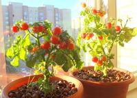 Выращивание томатов на окне