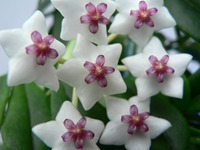 Хойя – растение для дизайна сада