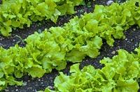 Салат – выращивание и уход