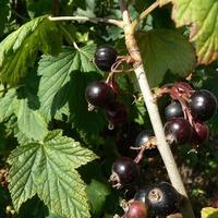 Почему у смородины мелкие ягодки?