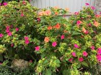 Уходящие запахи лета... Мирабилис.