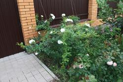 Подготовка к зиме. ВОПРОС. Розы. 1