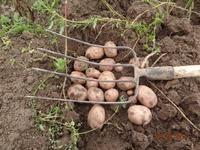 Про картошку дальше.