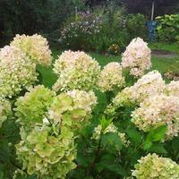 "Гортензия метельчатая Мэджикал Кэндл (Hydrangea paniculata ""Magical Candle"")"