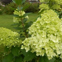 "Гортензия метельчатая Лаймлайт Hydrangea paniculata ""Limelight"""
