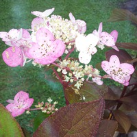 "Гортензия метельчатая Вимс Ред (Hydrangea paniculata ""Wim`s Red"")"