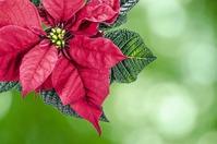 Пуансеттия: необходимый уход для цветения