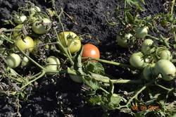 Низкорослые помидоры.