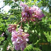 Робиния клейкая (Robinia viscosa Vent.) или Розовая акация