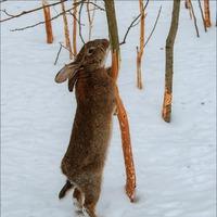 Как защитить свой сад от набегов грызунов - зайцы, мыши и наши деревья зимой