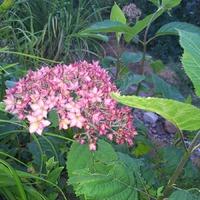 Гортензия древовидная Белла Анна (Hydrangea arborescens Bella Anna)