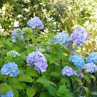 """Гортензия крупнолистная """"Бесконечное лето"""" Hydrangea macrophylla """"Endless Summer"""""""
