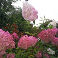 Гортензия метельчатая «Ренхи» Ванилле Фрейз» Hydrangea paniculata Renhy Vanille Fraise