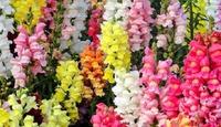 Рассаду каких цветов сажать в январе