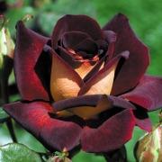 Розы по 150 рублей