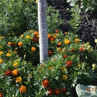 Полезное украшение огорода бархатцами.