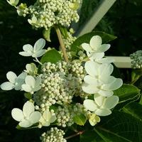 Гортензия метельчатая «Дарума» Hydrangea paniculata «Dharuma»