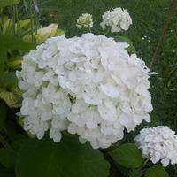 Гортензия древовидная «Стронг Аннабель» Hydrangea arborescens «The Strong Annabelle» (Incrediball)