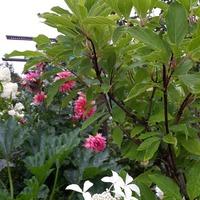 Гортензия метельчатая «Ла вастериал Грейт Стар» (Hydrangea paniculata «Le Vasterival` Great Star»)