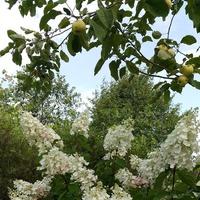 Гортензия метельчатая «Пинки Винки» (Hydrangea paniculata «Pinky Winky»)