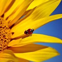 Наше здоровье и семена подсолнечника