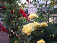 О розы, вы прекрасней всех!