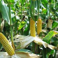 Золотые зёрна Кукурузы