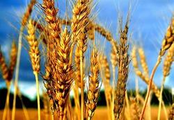 Колосится в поле пшеница