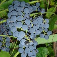 Время вспомнить про виноград.